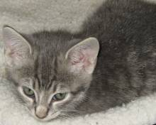 pictures of cute gray kittens