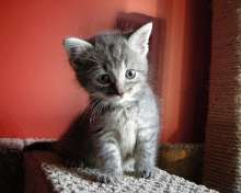 pictures of cute grey kittens
