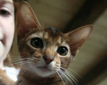 wide eyed abyssinian kitten photo
