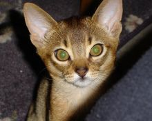 cute abyssinian kitten playing