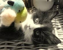 Picture of Black and White Long Haired Kitten