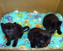 pictures of cute black kittens with blue eyes