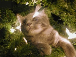 grey xmas kitten in Christmas tree