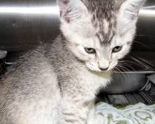 cute gray kitten pics