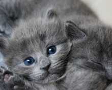 fading kitten syndrome - grey kitten