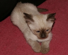 cute siamese kitten picture