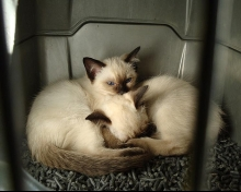 cute siamese kittens picture