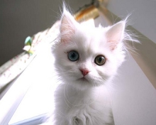 picture of a kitten cat
