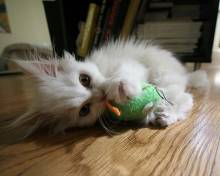 white persian kitten pics