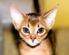 cute copper abyssinian kitten pictures