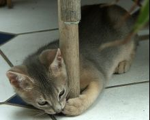 cute blue abyssinian kitten playing
