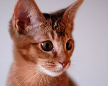 bright eyed abyssinian kitten