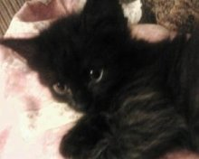cutest black maine coon kitten