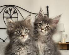 Maine Coon cat kitten picture