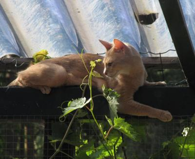 Morgana, Lilac Abyssinian looking for a means to escape...