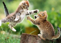 The Primary Way FIV (also called Fading Kitten Syndrome) Are Deep Scratches and Bite Wounds Where An Infected Kitten's or Cat's Saliva Enters the Patients Bloodstream