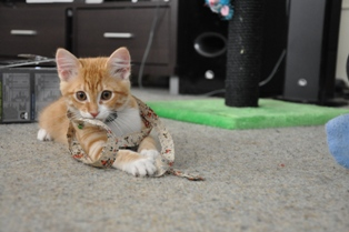 Adorable Orange Tabby Kitty Cat