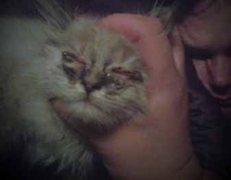 Picture of Kitten Eye Infection