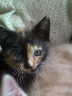 Cutest Little Kitten With Black, Brown, Ginger and White Fur NamedPumpkin
